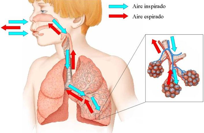 http://4.bp.blogspot.com/_ZfbMXwIfvuY/SwLGnsxlWgI/AAAAAAAAAAU/M_QXFp2DVF8/s1600/pulmones.jpg