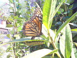 Travis captured two parts of the Monarch life cycle!
