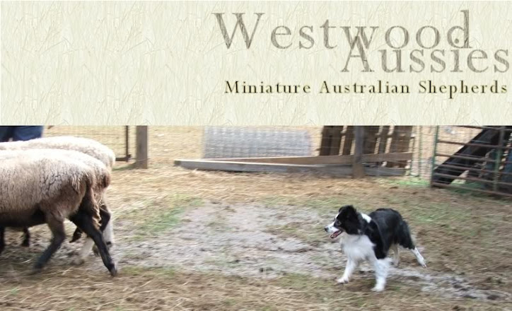 Westwood Miniature Aussies