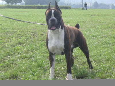 Male Boxer Dog