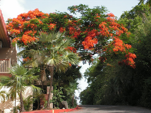 Flamboyant tree in our resort