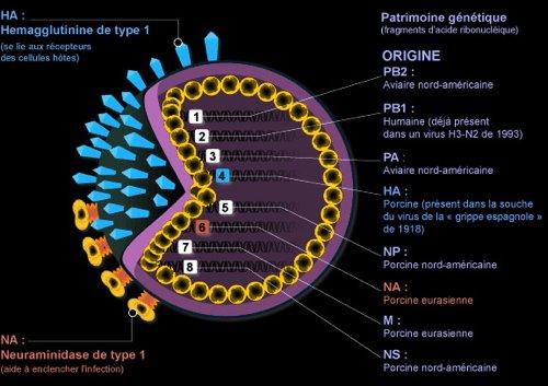 Le virus A (H1N1) décodé