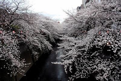 Naka-Meguro Tokyo sakura cherry blossom