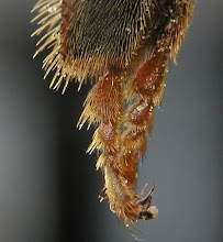 leg of a bee