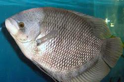 Peluang Usaha Budidaya Bisnis Beternak Ikan Gurami