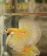 Siam's Best Bettas