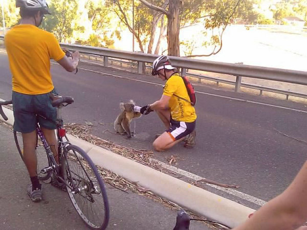 koala et cyclistes