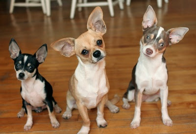 Chihuahua breeders often use terms like miniature, teacup, tiny toy