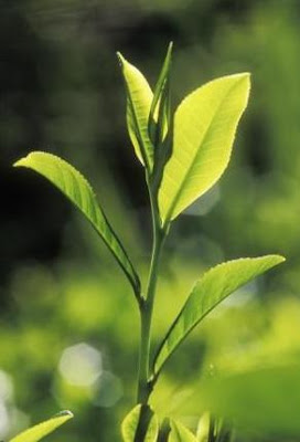 Anti Aging Treatments -Green tea leaves