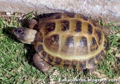 لاک پشت مهمیزدار - Spur-Thighed Tortoise ( Testudo graeca )