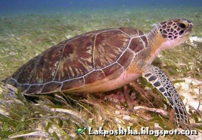 لاک پشت زیتونی ریدلی - Olive Ridly Sea Turtle ( Lepidochelys olivacea )