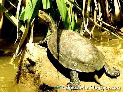 لاک پشت برکه ای خزریلاک پشت برکه ای خزری - Caspian Pond Turtle ( Mauremys caspica )