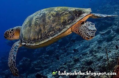لاک پشت سبز - Green Sea Turtle ( Chelonia mydas )
