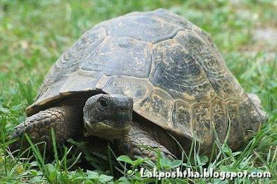 لاک پشت آسیایی یا روسی - Russian Turtle ( Testudo horsfieldii )
