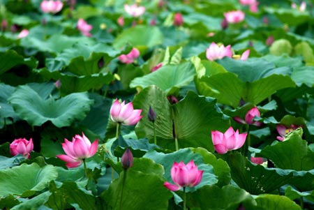 Discovery visualize lotus in Vietnam culture