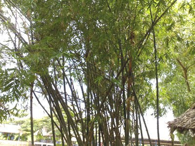 Thu Hong bamboo - Northern village characteristics
