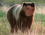 Salviamo l'Orso Dodo (fratello di Knut)