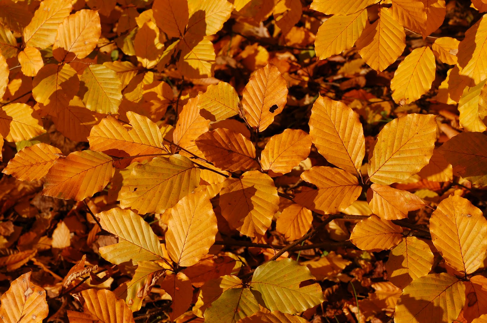 http://4.bp.blogspot.com/_ZueG3OvW8_k/TIwAUEP9zlI/AAAAAAAADX4/cK8aVERq3UM/s1600/Copper_Beech_Fagus_sylvatica_f__purpurea_Autumn_Leaves_Closeup_3008px.jpg
