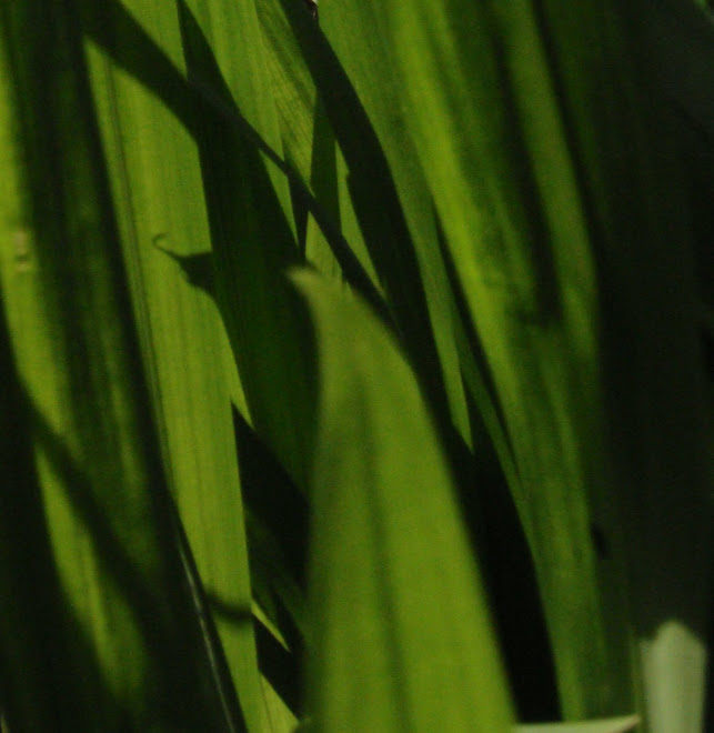 CROCOSMIA SHADOWS