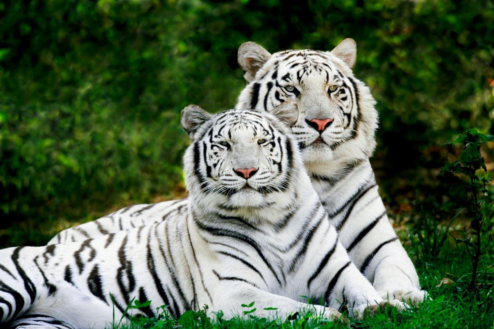 http://4.bp.blogspot.com/_Zw41kxI2akg/SxTYUESFL0I/AAAAAAAAAY4/29Jxa4nyyi8/s1600/White+Tigers.jpg