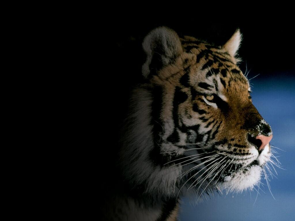 http://4.bp.blogspot.com/_Zw41kxI2akg/TFUvfc8P-QI/AAAAAAAACrI/bkVAmvWj-BY/s1600/poze_tigru.JPG