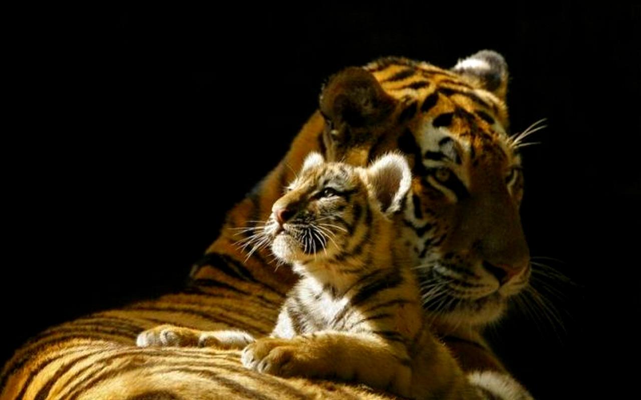 http://4.bp.blogspot.com/_Zw41kxI2akg/TT9AmMIq37I/AAAAAAAADI0/zl2eI-NtlVM/s1600/tigru_baby.jpg