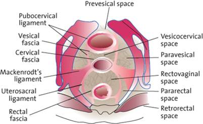 Medical Images Endopelvic Fascia