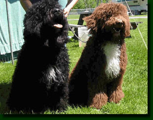 Barbet French Water Dogs
