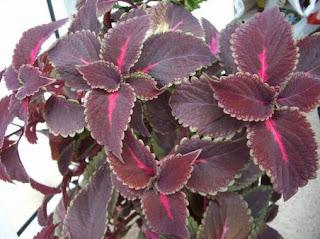 el coleo, una planta para interiores