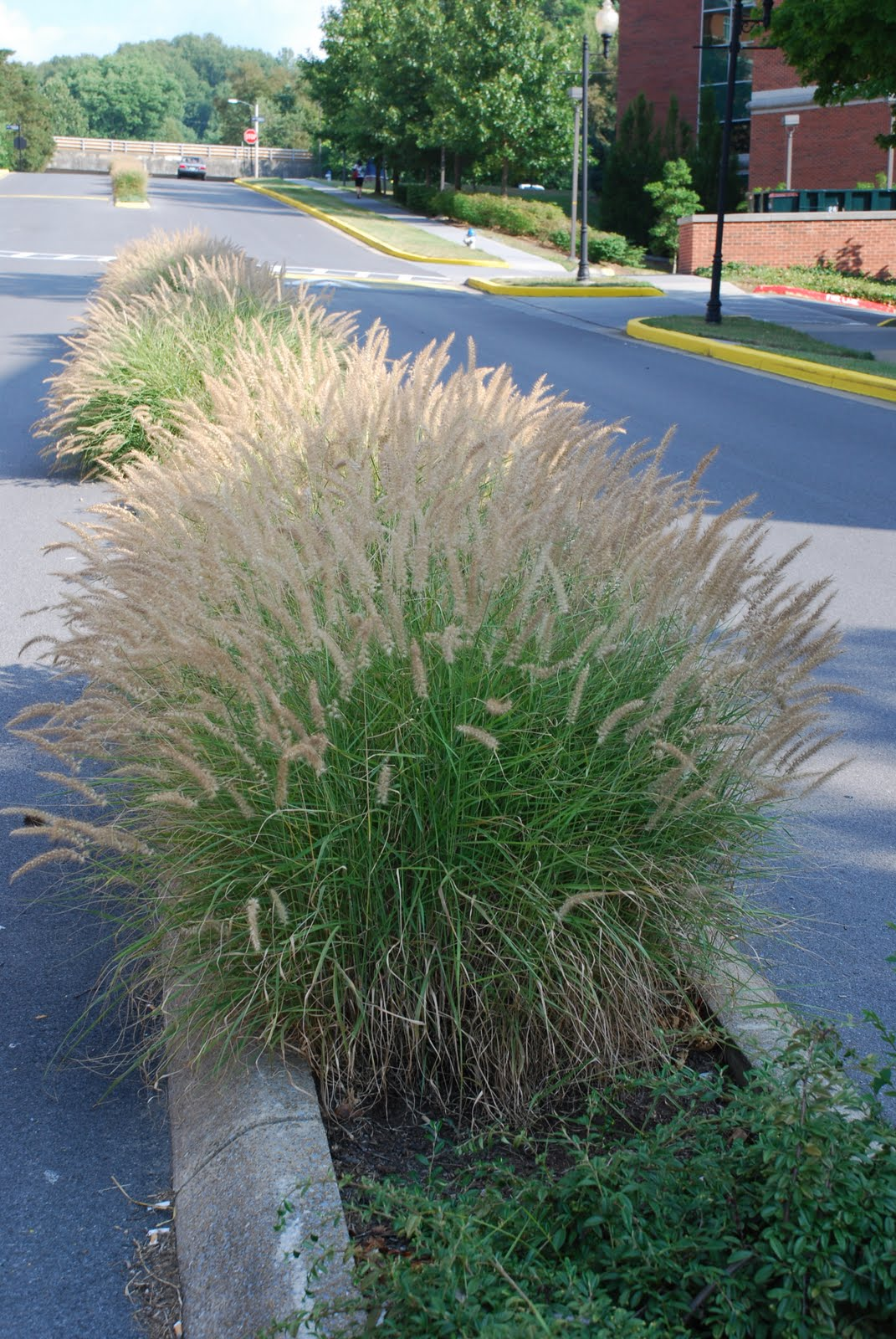 What grows there pennisetum 39 karley rose 39 for Hardy fountain grass