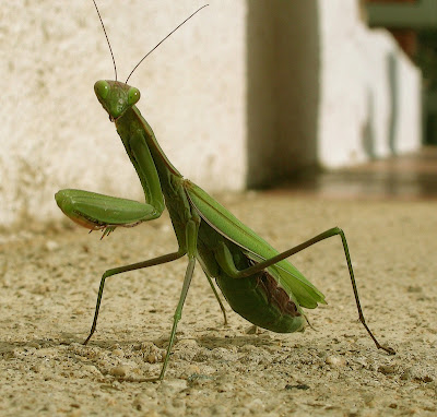 Pregadéus (Mantis religiosa)