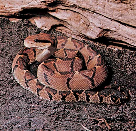 Bushmaster - longest snake in the world