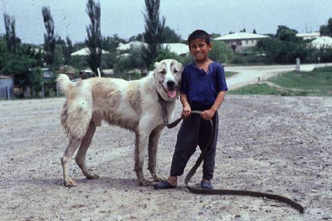 Afghan Fighting Dog Breed