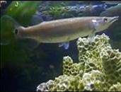 Pregnant Hujeta Gar Fish