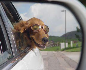 interesting facts: Why do dogs love to stick their heads out of car windows?