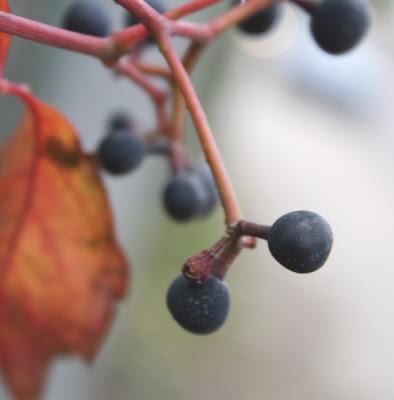 winobluszcz czyli dzikie wino - owoce