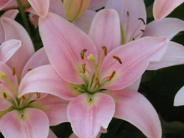 Enviflora lirios - Todo tipo de plantas con sus nombres ...