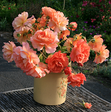 Luscious, fragrant 'Westerland' roses