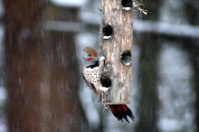 Flicker visits feeder