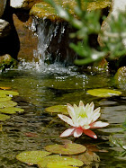 A lily in my pond...