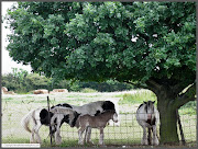 This pastoral scene is very close to the busy London Airport at Heathrow. (img )