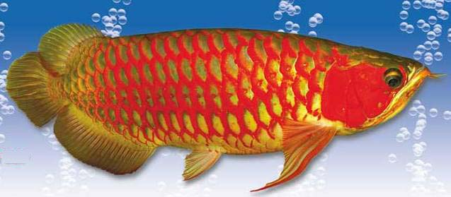 foto ikan arwana - gambar hewan