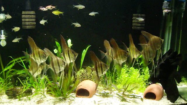 goldfish tank mates. present tank mates unlike