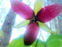 Forest Walk Spring Wild Flower ~ Trillium