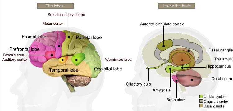 lobes of brain. What do these rain lobes do?