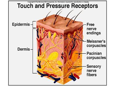 external image sensory+receptors.jpg