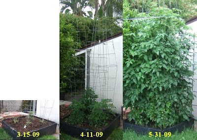 The Picture Below 4 Cherry Tomato Plants 2 Sweet Baby S 1 Sugar Snack And Super 100 Growing In My Other Raised Bed