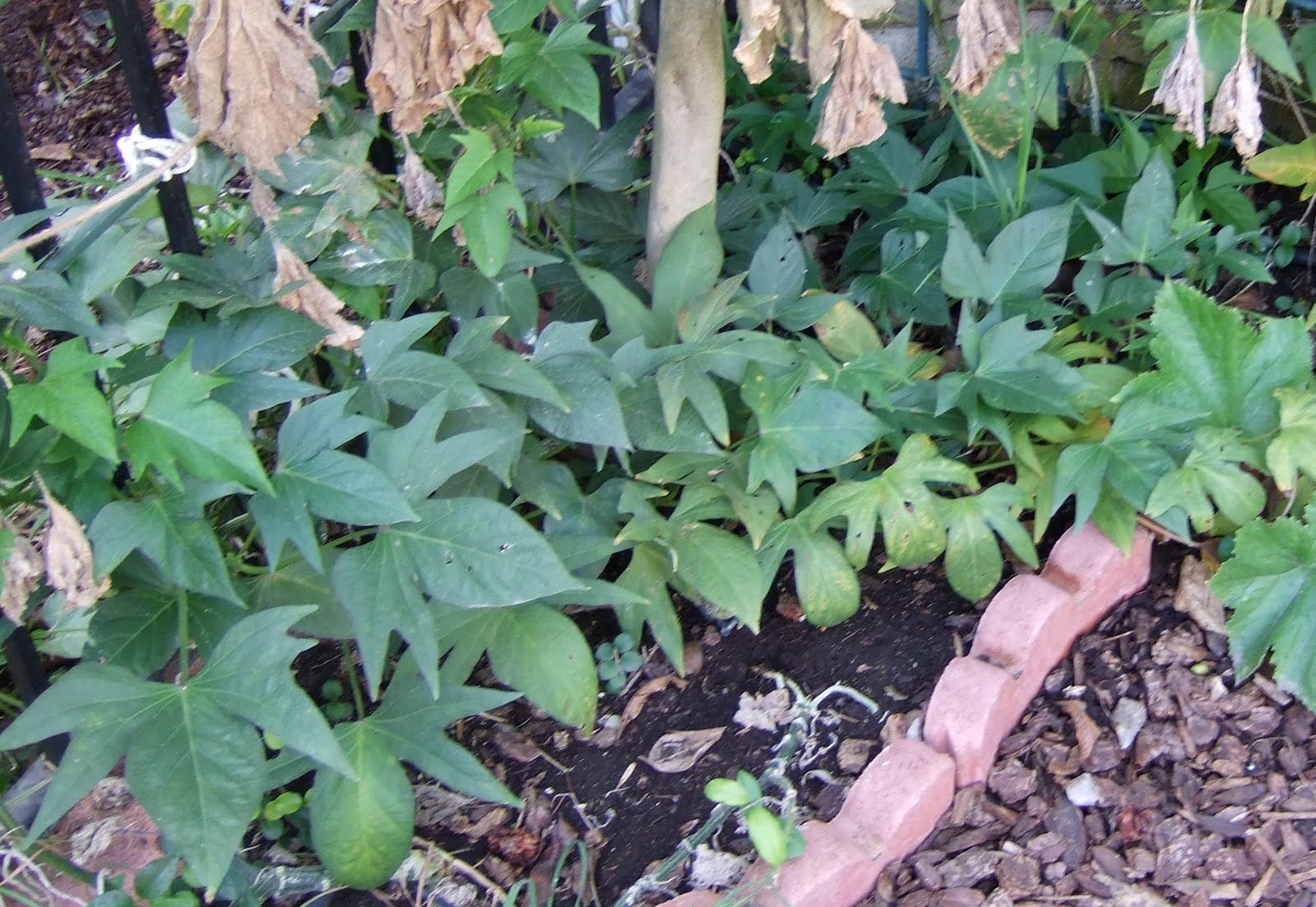 my southern california vegetable garden rooting okinawan sweet