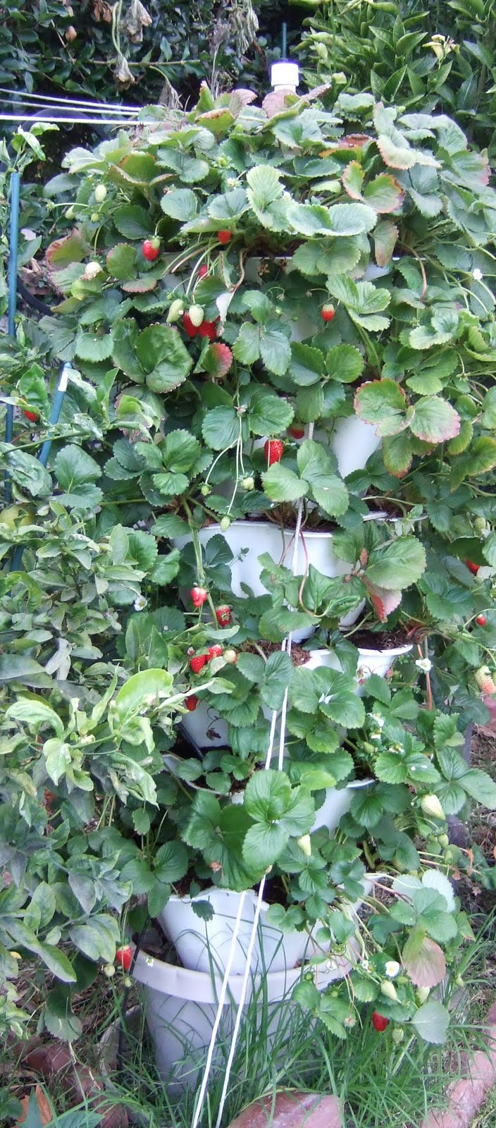 My Southern California Vegetable Garden Preparing Strawberry Tower For Winter