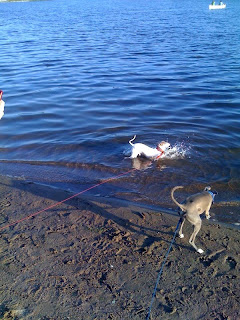 Italian-Greyhound-In-The-Water